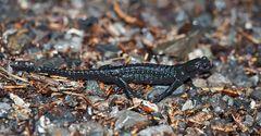 Alpensalamander (Salamandra atra) mit Mücke! - Salamandre noire avec moustique!