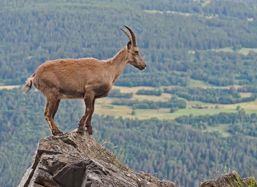 Alpensteinbock (Capra ibex) 1. Foto - Bouquetin des Alpes.