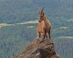 Alpensteinbock (Capra ibex), 2. Foto. - Bouquetin des Alpes.