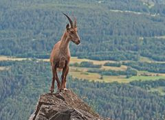 Alpensteinbock (Capra ibex), 3. Foto. - Bouquetin des Alpes.