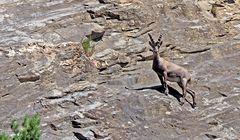 Alpensteinbock (Capra ibex). - Bouquetin des Alpes.