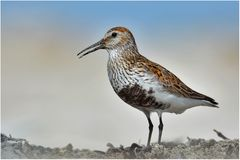 Alpenstrandläufer - Calidris alpina