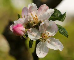 Alpfelblüten