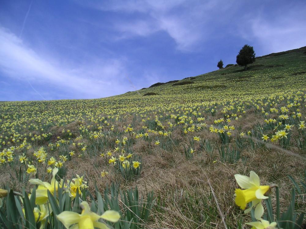 Alpi, Narcisi