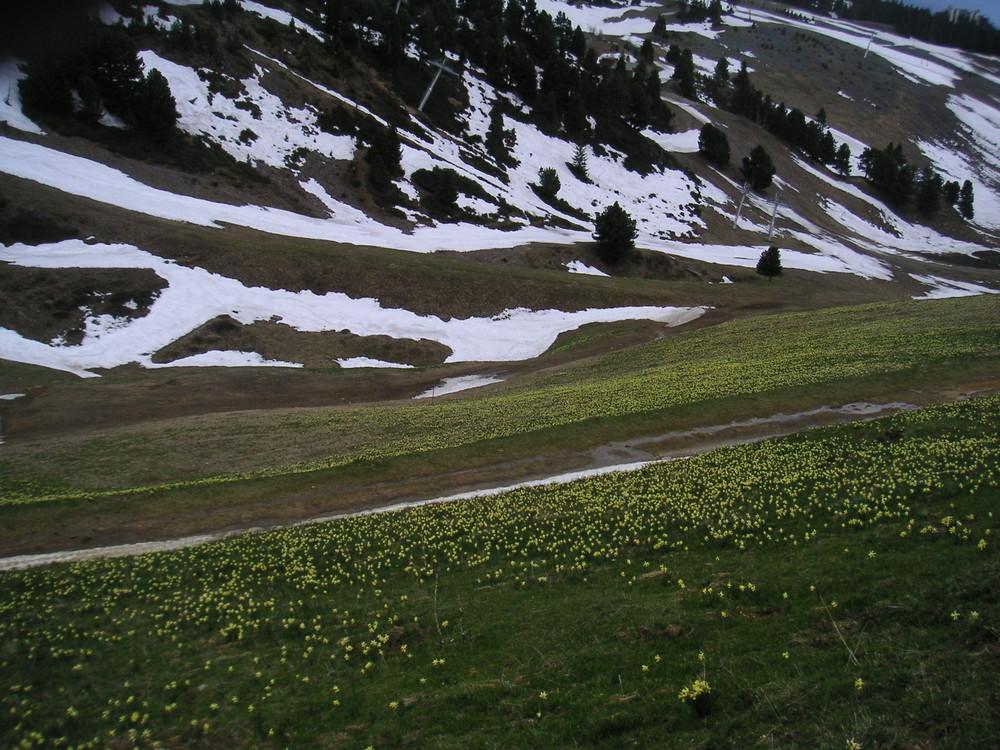 Alpi, sneg i narcisi