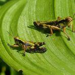 Alpine Gebirgsschrecken
