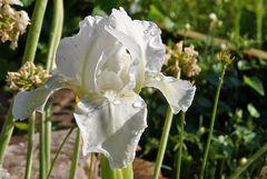Als blaue Zwergiris habe ich die mittelgroße schöne weiße Iris gekauft !!...