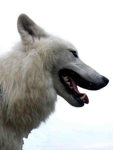 Als der gefährliche Wolf über mir stand wollte ich wenigstens noch das Foto meines Lebens machen!