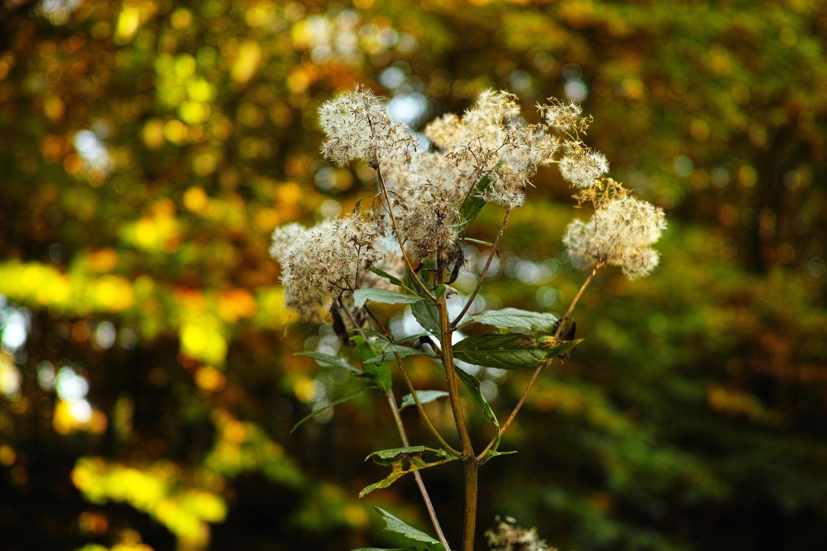 Als der Herbst noch blühte (Teil 3), die letzte Pusteblume 2013