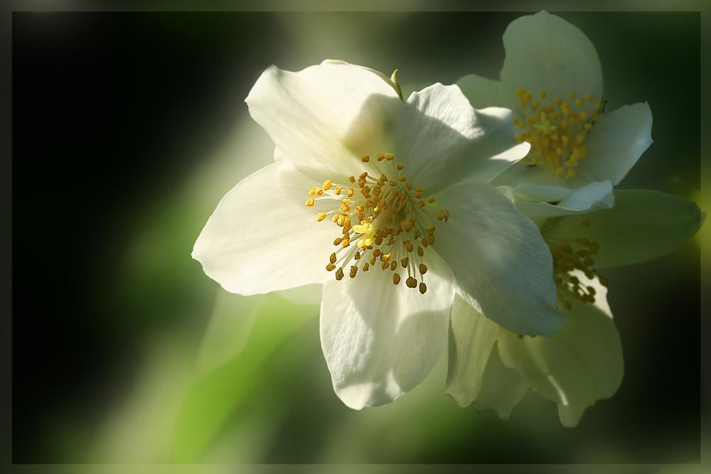 ---Als die Sonne die Blüte anstrahlte---