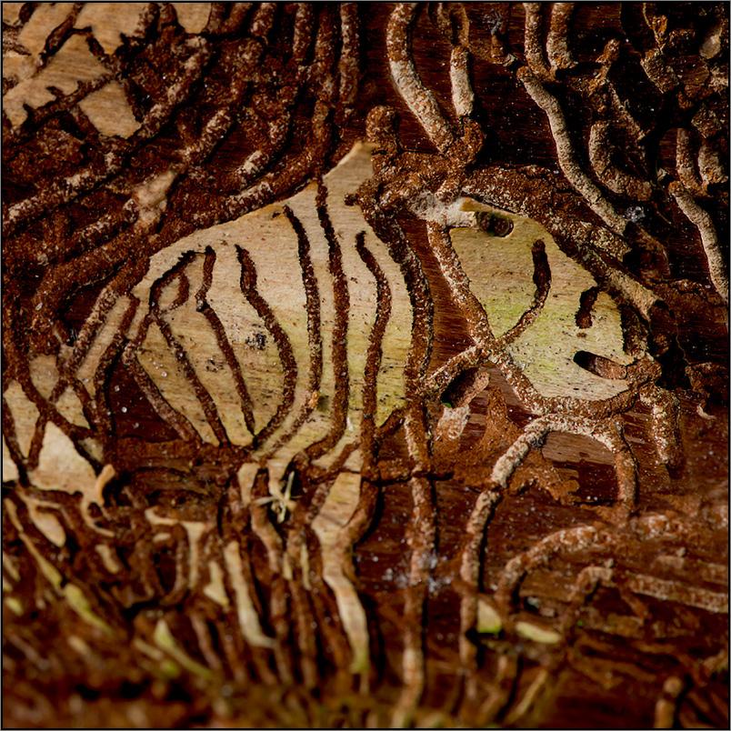 als ich die abbildung des gehörnten zebras mit stoßzähnen entdeckte. . .