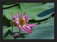 Als Mittwochs-Lotus gedacht