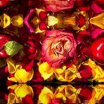 Als Mittwochsblümchen - Eine Composition aus Rosenblättern