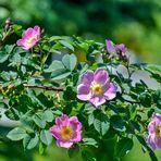 Als Mittwochsblümchen:  Rosen
