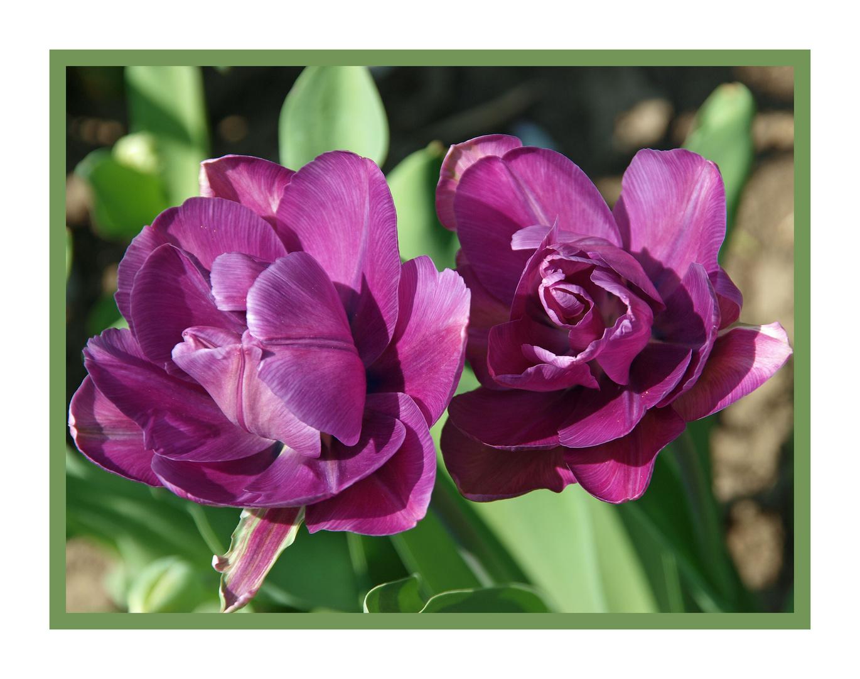 Als nachschlag noch eine lila blüte, diese tulpe ist schön gefüllt ahnlich fast einer rose,