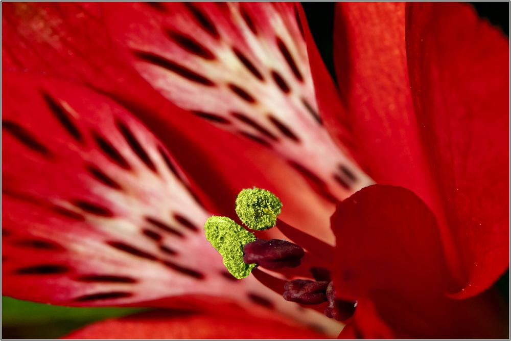 Alstroemeria(Inka-lilien)