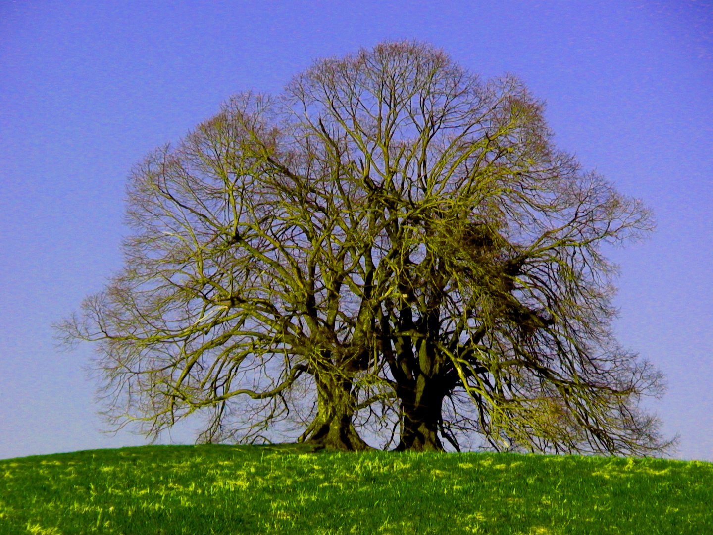 Alt Baum / Frühling