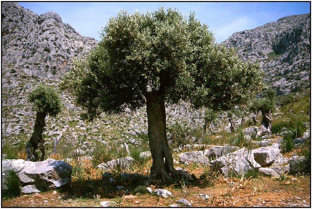 Alt Wie Ein Baum Akkorde
