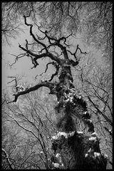 Alt wie ein Baum