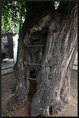 ...alt wie ein Baum... II