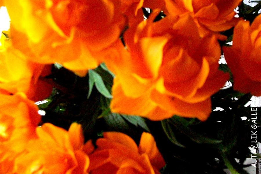 Altay wild flowers OGONKI