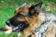 Altdeutscher Schäferhund liegt in der Wiese