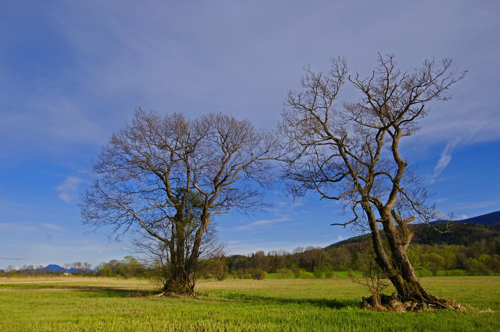 Alte Bäume im Frühling