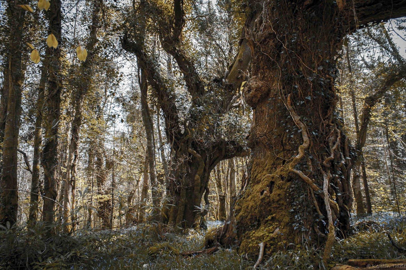 alte b ume im lough key forest park foto bild landschaft wald irland bilder auf fotocommunity. Black Bedroom Furniture Sets. Home Design Ideas