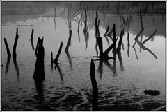 Alte Bäume im Moor