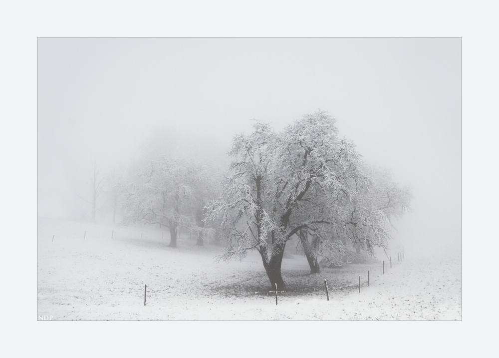Alte Bäume im Nebel