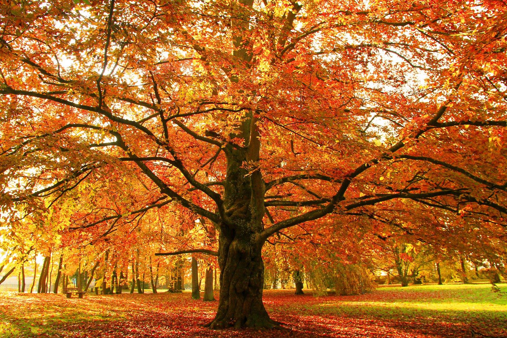 alte Buche im Herbst