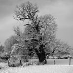 Alte Eiche im Winterkleid