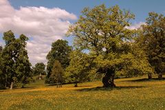 Alte Eichenbäume