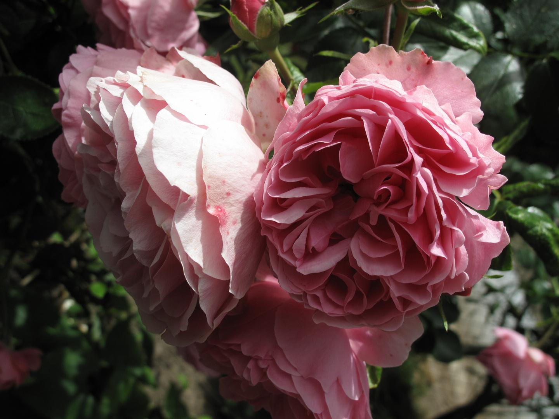 alte englische rosen foto bild pflanzen pilze flechten bl ten kleinpflanzen rosen. Black Bedroom Furniture Sets. Home Design Ideas