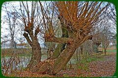 Alte Kopfweiden am Teich