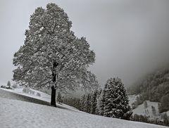 Alte Linde bei Schneefall auf der Kehr!