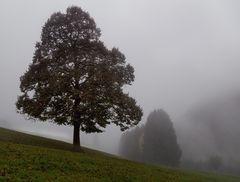 Alte Linde im Nebelwetter auf der Kehr!