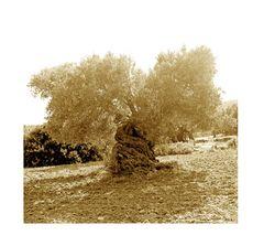 alte Olive