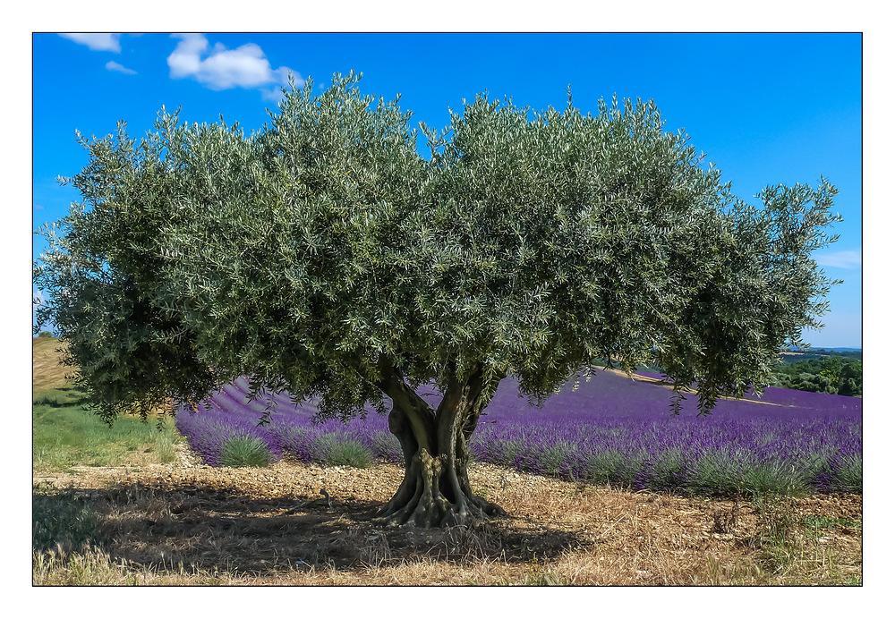 Alte Olive im Lavendelfeld