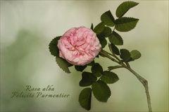 Alte Rose....