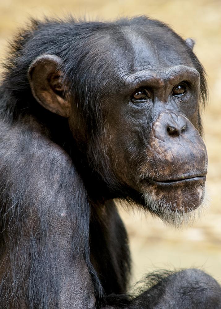 Alte Schimpansen - Dame