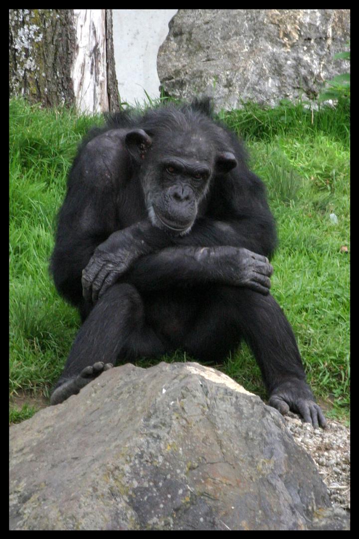 alte Schimpansendame