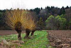 Alte Weiden im April!