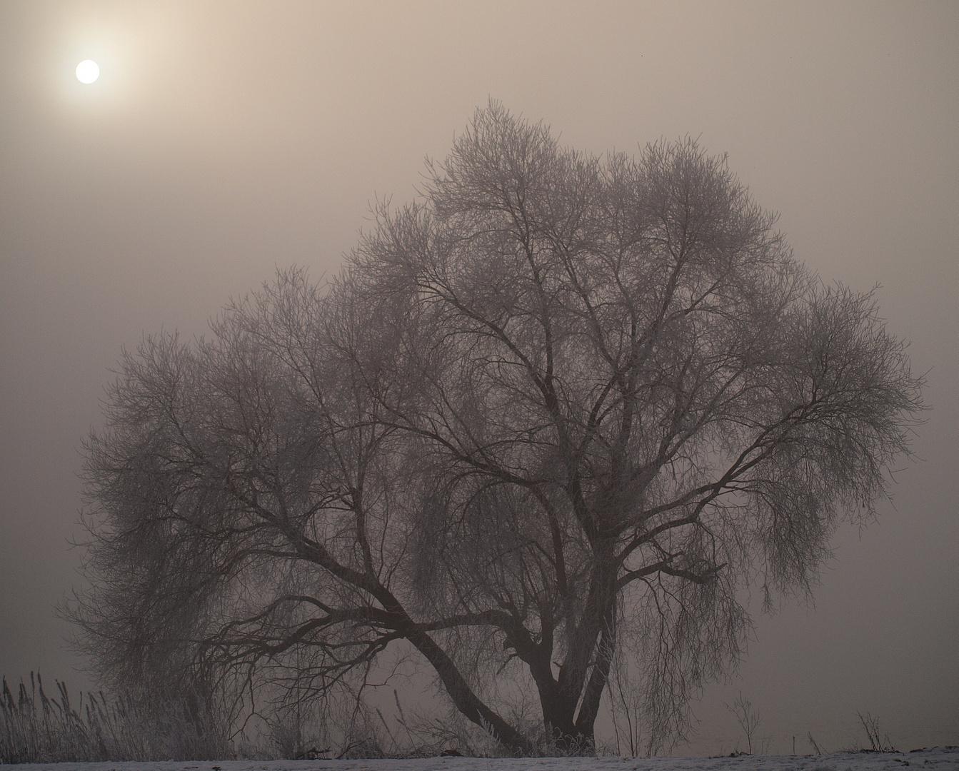 Alter Baum am Rhein in Wesel