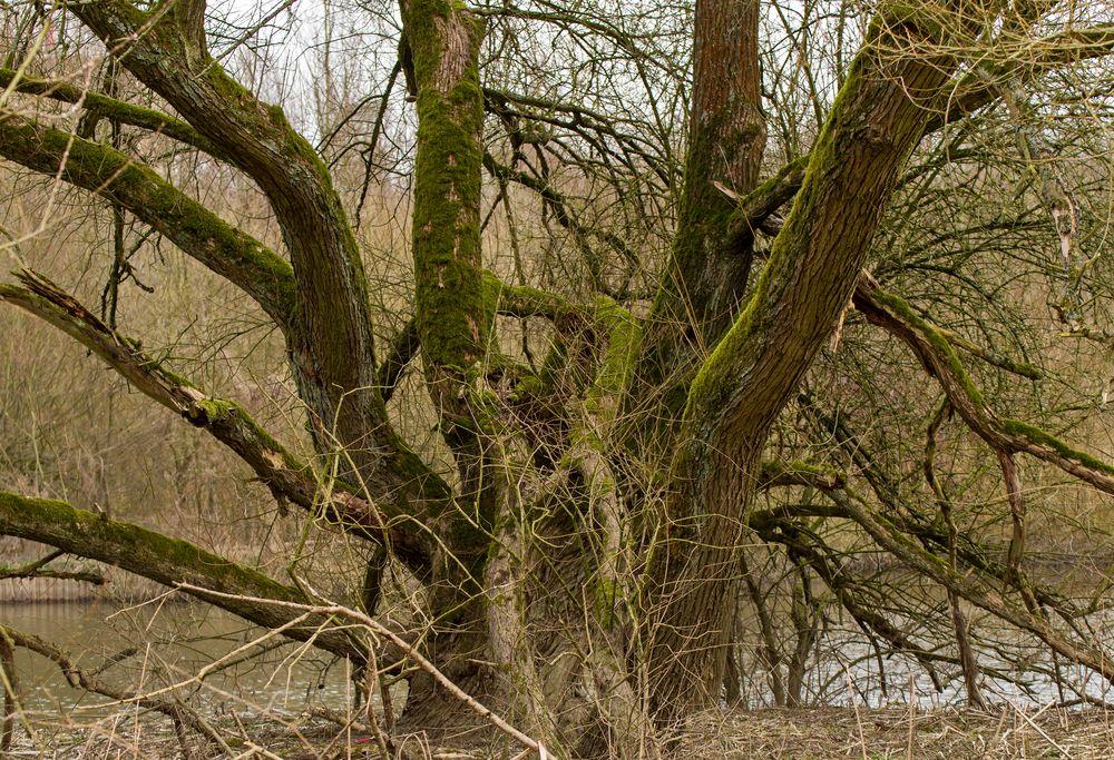 Alter Baum an der Ruhr