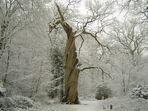 Alter Baum im Winter