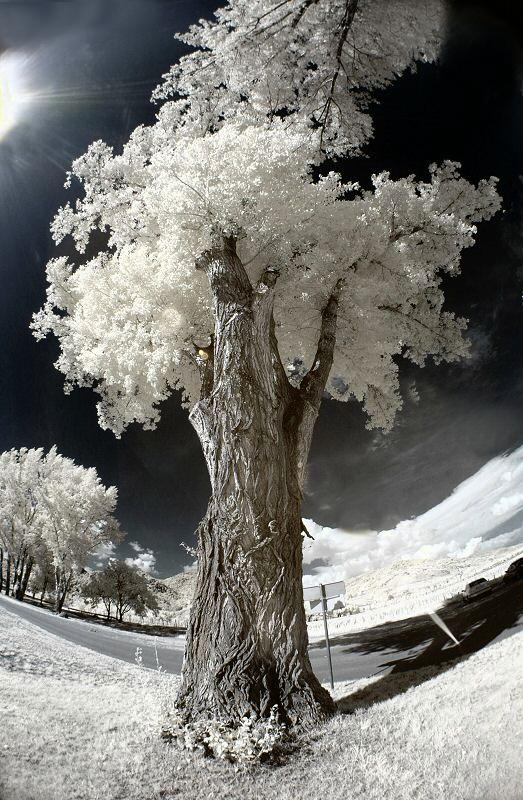 Alter Baum (IR)