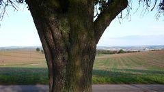 alter Birnbaum mit Blick aufs Land