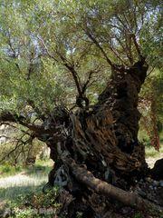 Alter Olivenbaum bei Aghios Nikitas
