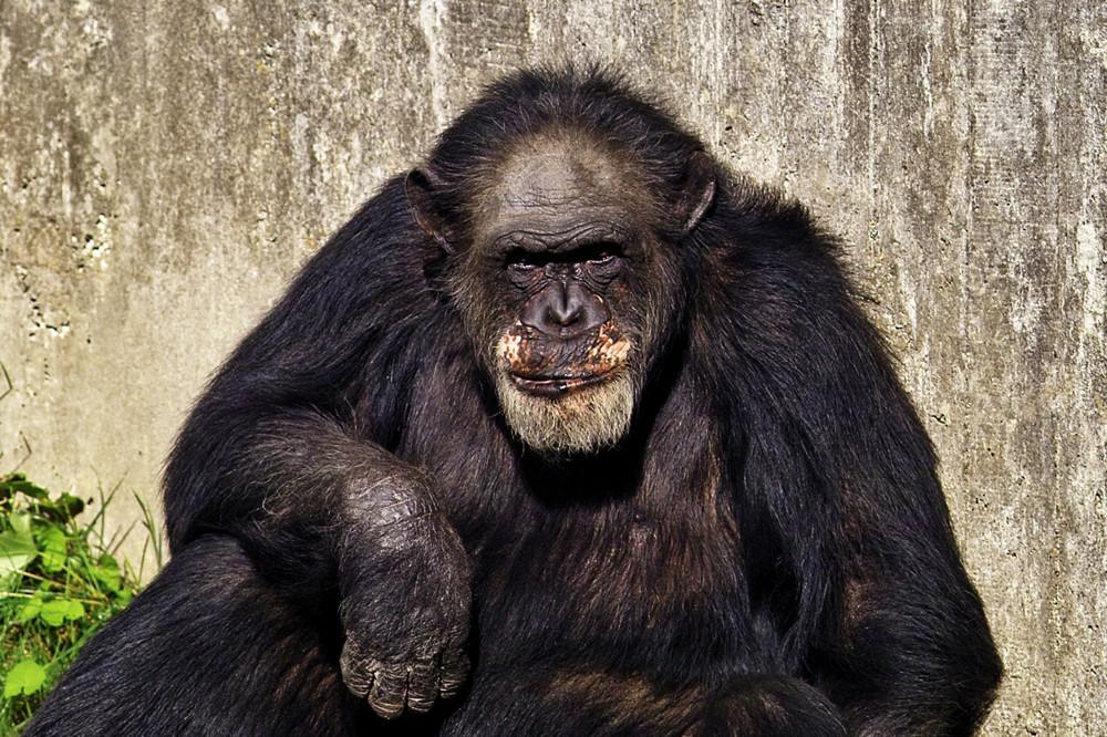 Alter Schimpanse im Zoo Hannover